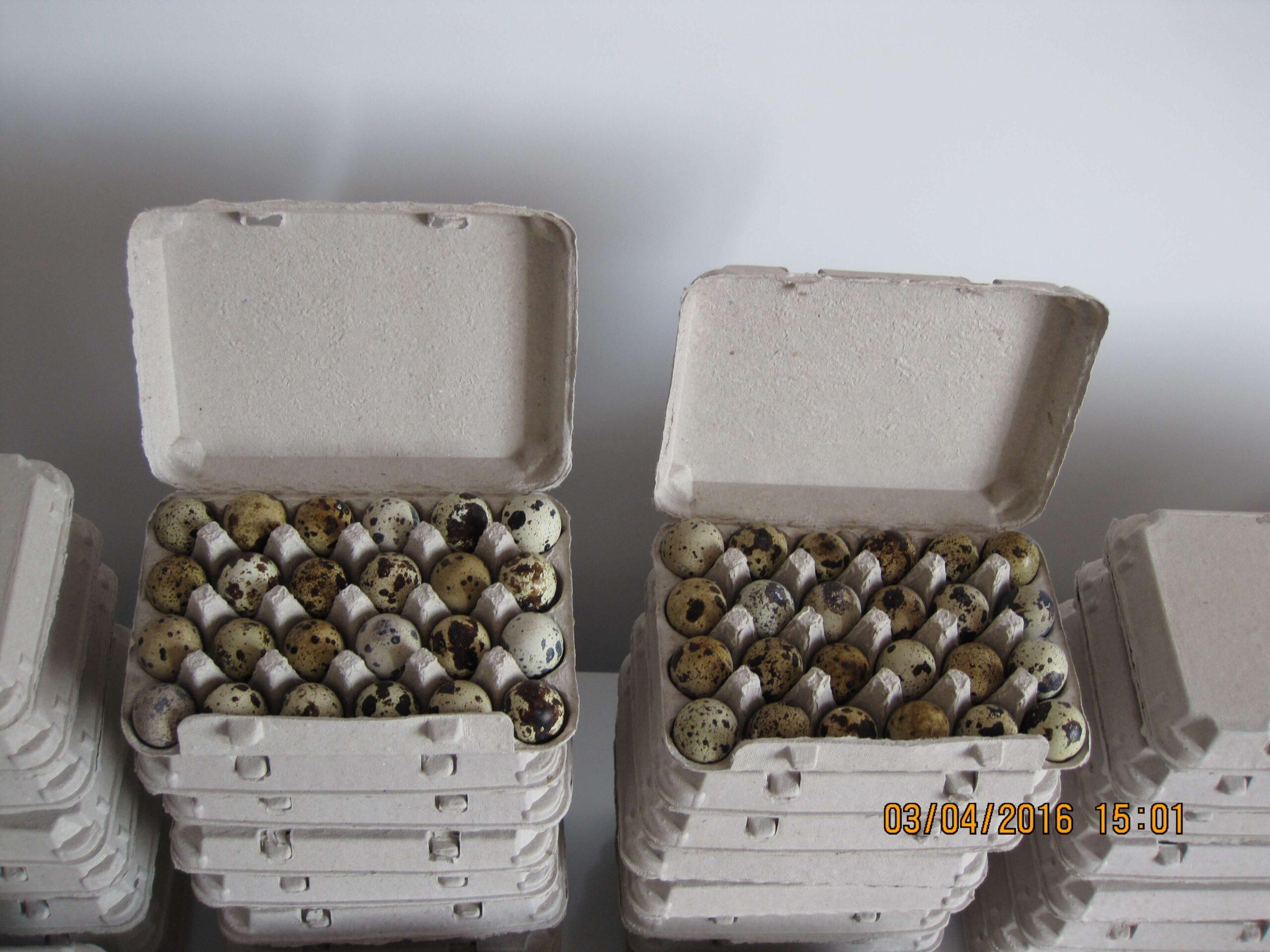 caserole 24 oua prepelita